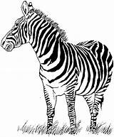 Zebra Coloring Pages Animal Print Farm Squirrel sketch template