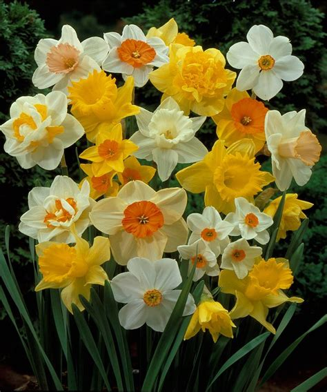 75 best images about flower daffodils on