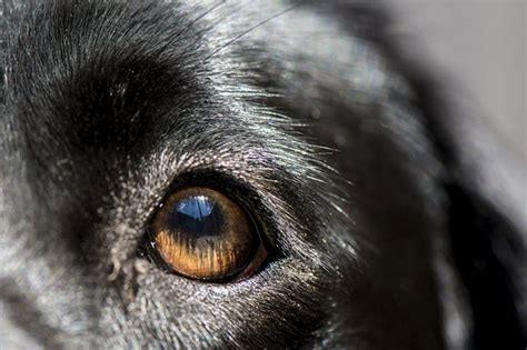 cataracts  dogs lead  blindness cuteness