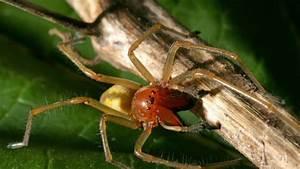 Spinnmilben Gefährlich Für Menschen : giftspinne auf dem vormarsch spinnenplage bef rchtet dieser achtbeiner ist extrem gef hrlich ~ Whattoseeinmadrid.com Haus und Dekorationen