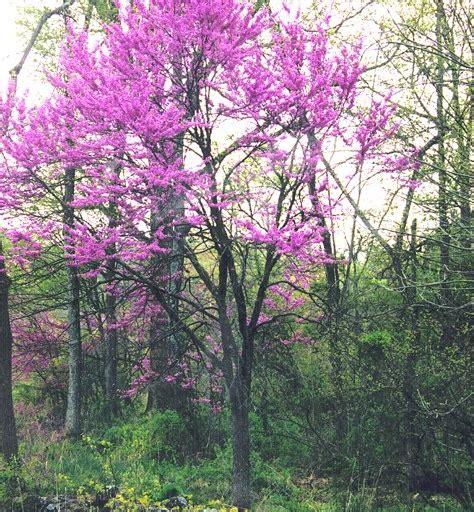 eastern bud tree file eastern redbud png wikipedia