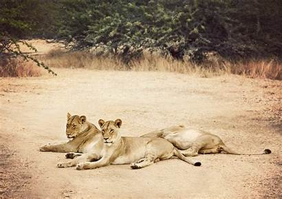 Lion Safari Africa Animated Lions Lioness Cinemagraph