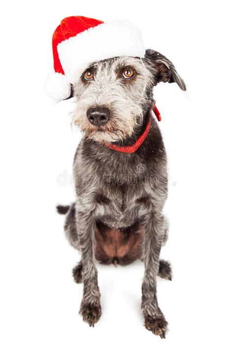 Terrier Dressed As Santa Claus Stock Photo Santa Claus Terrier Crossbreed Stock Photo