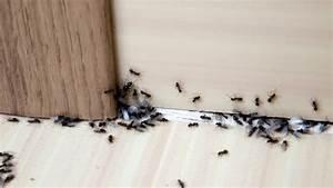 Ameisenstraße Im Haus : ameisen bek mpfen tipps hausmittel gegen ameisen im haus ~ Watch28wear.com Haus und Dekorationen