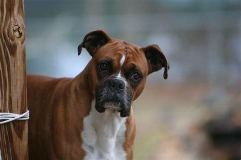 boxer animales mascotas mercafauna
