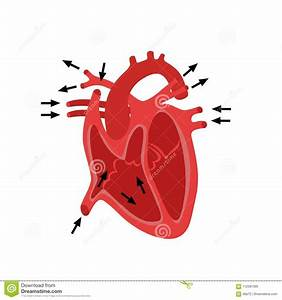 Diagram Of Human Heart Anatomy Cartoon Vector