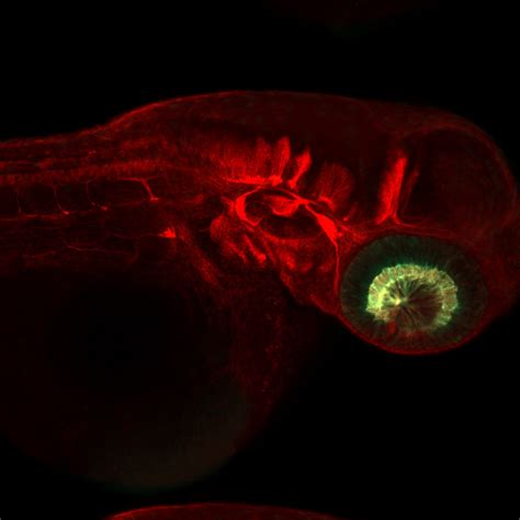 zebrafish  good models  scientists