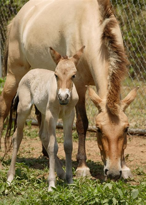 horse przewalski wild animal extinct przewalskis asian years