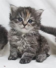 siberian cat for siberian kittens for stevenage hertfordshire