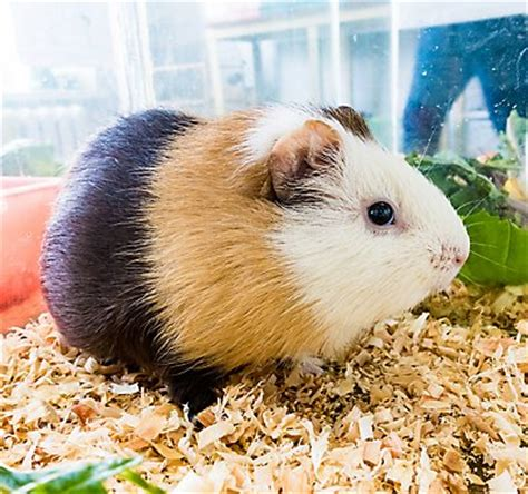 Hamster Bedding Petsmart by Hamsters Syrian Hamster Care Petsmart
