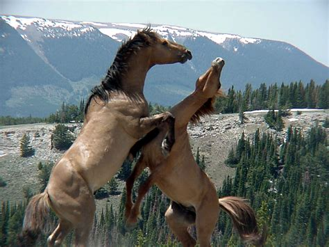 horses wild horse mountain montana range fight pryor usa spring fighting land mountains state mustangs stallion america chamorrobible feral 2003