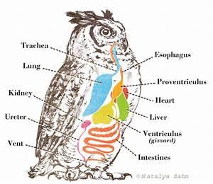 Owl Pellet Chart   Illustrator