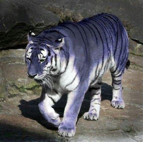 Best Images About Big Cats Pinterest Blue Tigers