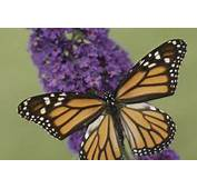 Can A Butterfly Bush Make Good Hedge  Home Guides SF