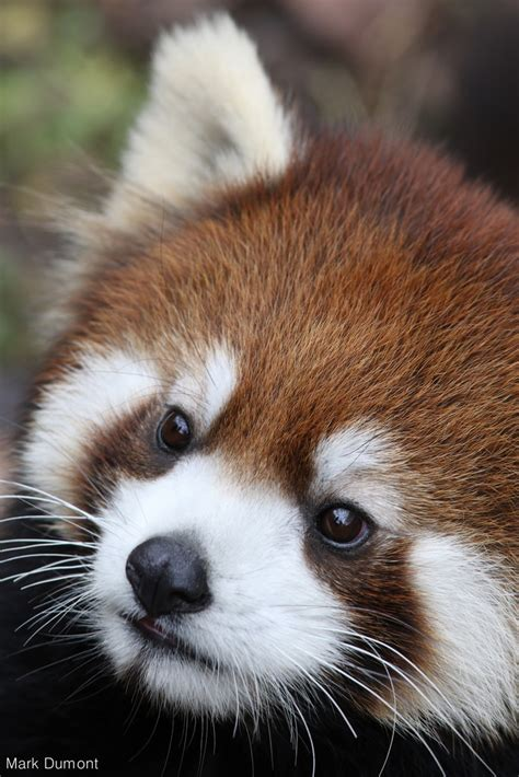International Red Panda Day Zoos Make A Difference For