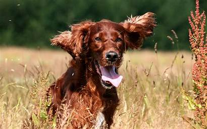 Irish Setter Dog Breeds Meadow Breed Face