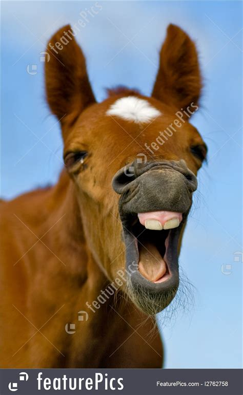 domestic animals laughing horse stock picture
