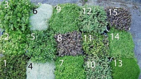 zealand native ground cover plants