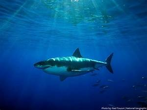 Interesting Facts About Great White Sharks Just Fun Facts