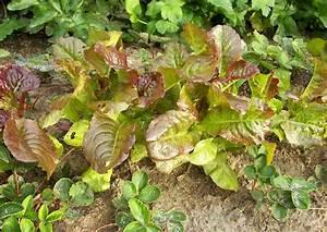Salat Selber Anbauen : herbstsalat selber anbauen tipps f r einsteiger ~ Markanthonyermac.com Haus und Dekorationen