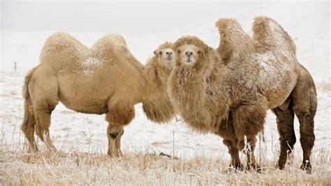 bactrian camel facts information hd pictures   details