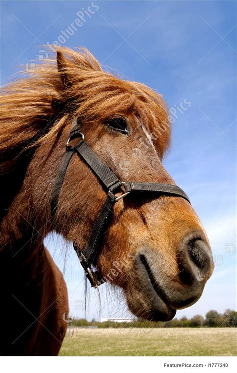 domestic animals face   curious horse stock image