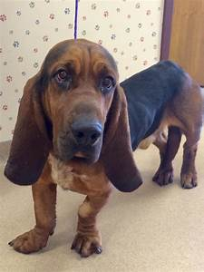 12 Basset Hounds Mixed With Bloodhound – Page 3 – The Paws