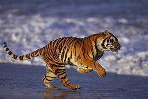 Facts About the Bengal Tiger That Will Leave You Flabbergasted