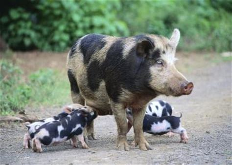 fun facts  teacup pigs animals momme