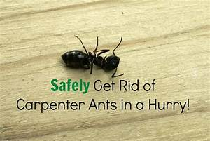 safely get rid of carpenter ants in a snap the healthy With big black ants in my bathroom