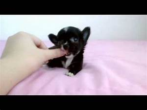 """""""Seth"""" Black White Long Coat Teacup Chihuahua Puppy for ..."""