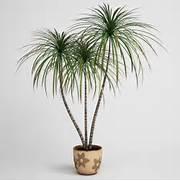 Potted Dracaena Plant ...