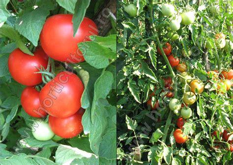 Plantarea rasadurilor in sere si solarii - marcoser