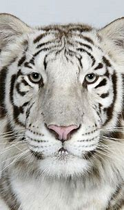 In pictures: The four faces of the Bengal tiger | White ...