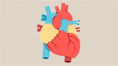 Heart Human Anatomy Diagram Quiz Beating Animation