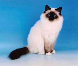 birman cats for birman pictures pics images and photos for inspiration