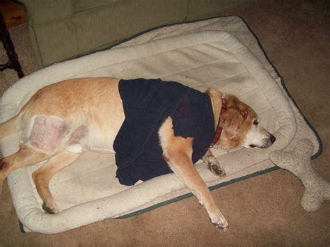 dog hemangiosarcoma cancer dogs tumor diagnosed edit update today located body attached