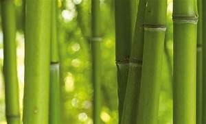 Bambus Pflegen Zimmer : ziergr ser bambus bei hornbach kaufen ~ Lizthompson.info Haus und Dekorationen