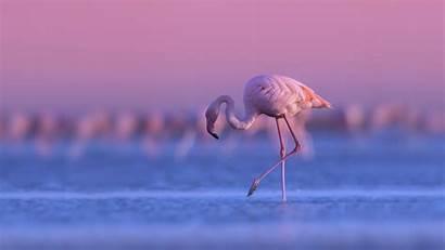 Flamingo Purple Birds Sunset Standing Sky During