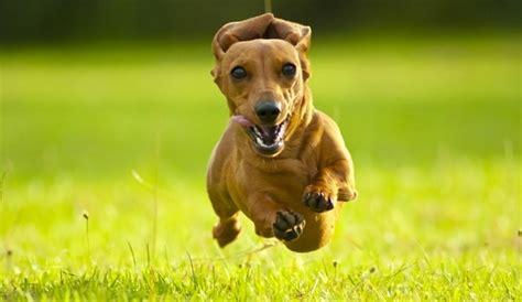 hot dog     toys  dachshunds