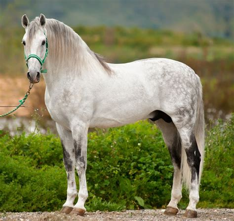andalusian horse horses spanish lusitano pre breed pura pure raza stallion spain andalucian caballo there recent warmblood andaluz iberian times