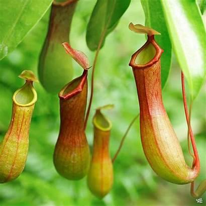 Plant Pitcher Tropical Plants Carnivorous Plantita Turns