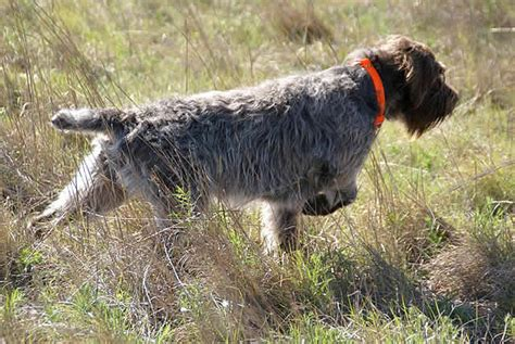 german wirehaired pointer shedding american wirehaired pointing griffon association home