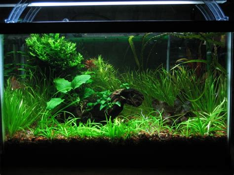 growing aquarium plants how to grow aquarium plants