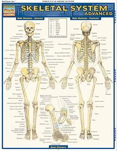 Skeletal System  Advanced Laminated Study Guide
