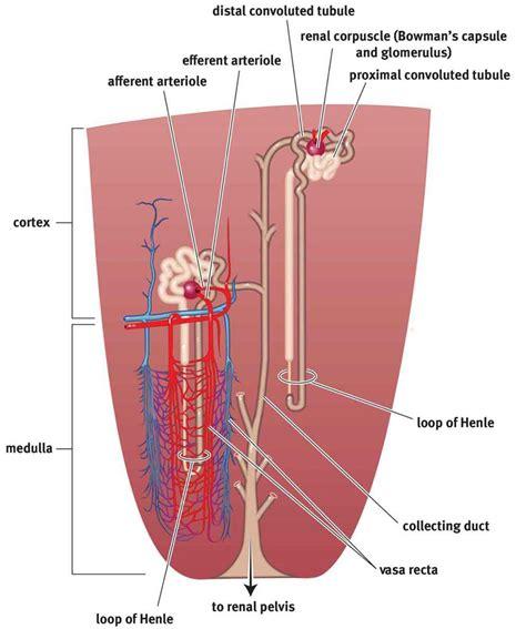 excretory system homeostasis mcat biology review