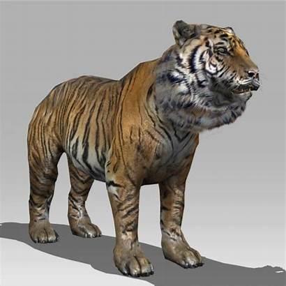 Tiger 3d Animated Animals Models Siberian Max