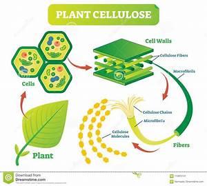 Plant Cellulose Biology Vector Illustration Diagram  Stock