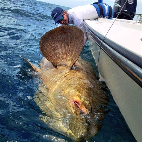 grouper goliath blacktiph caught monster jan status