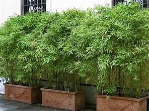 Bambus In Kübeln : bambus im k bel kaufen sichtschutz bambusb rse ~ Michelbontemps.com Haus und Dekorationen